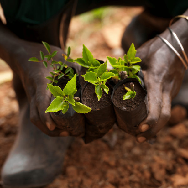 Close up of a Black person's hands holding six seedlings. They're crouched down in a garden.