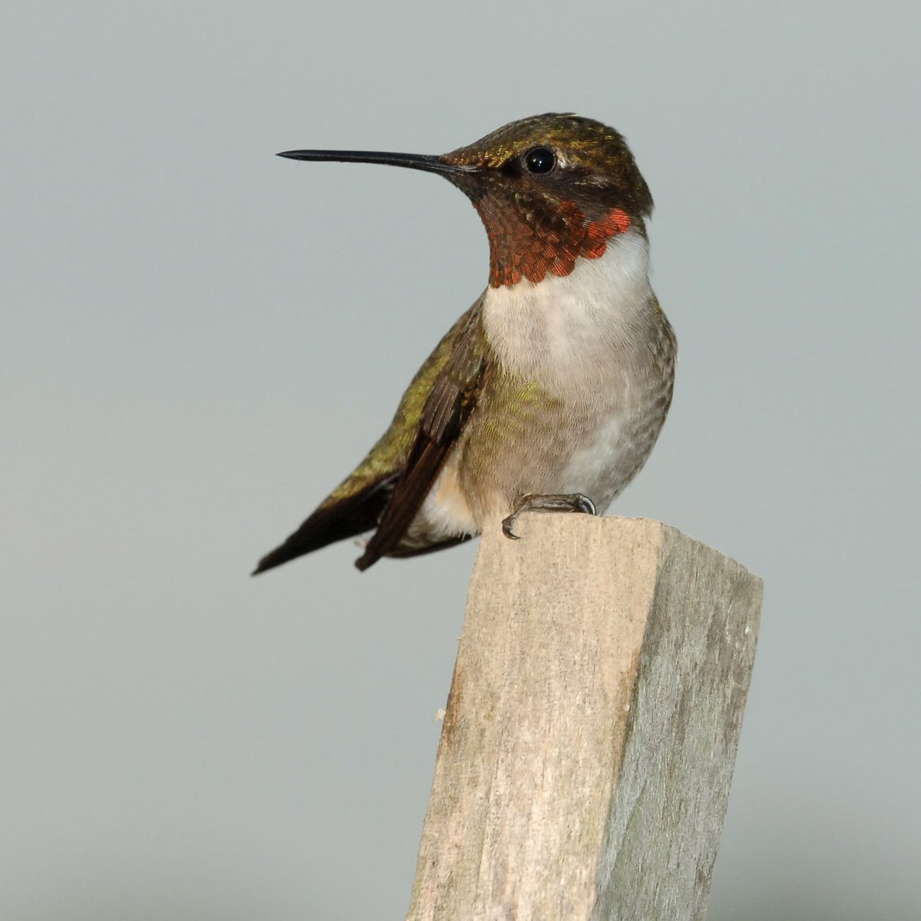 Ruby-throated hummingbird sitting on a small wood post.